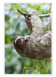 Poster  Sloth with baby on branch - Jim Goldstein