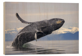Stampa su legno  Humpback whale in Frederick Sound - Paul Souders