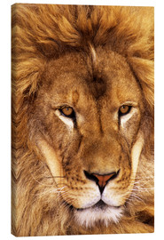Tela  Portrait of African lion - Dave Welling
