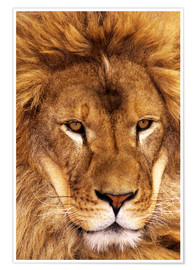 Poster  Portrait of African lion - Dave Welling