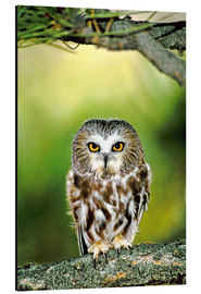 Stampa su alluminio  Northern saw-whet owl - Dave Welling