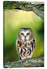 Stampa su tela  Northern saw-whet owl - Dave Welling