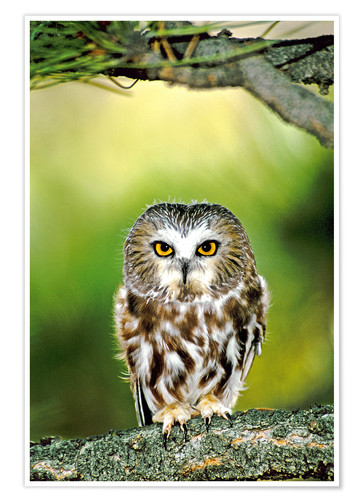 Poster Premium Northern saw-whet owl