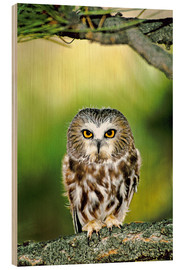 Stampa su legno  Northern saw-whet owl - Dave Welling