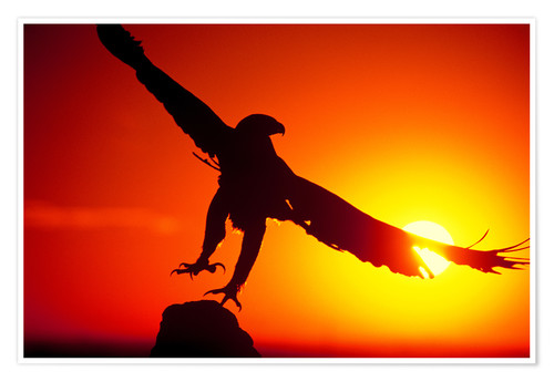 Poster Premium A golden eagle flies at dawn