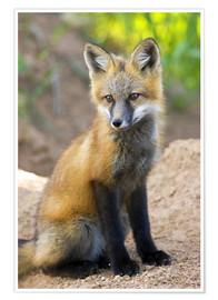 Poster  Close-up of red fox kit near den site - Don Grall