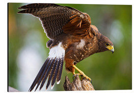 Alluminio Dibond  Harris hawk with outstretched wings - Larry Ditto