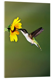 Vetro acrilico  Ruby-throated Hummingbird at sunflower - Larry Ditto