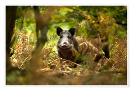 Poster  Wild Boar in deciduous woodland - David Slater