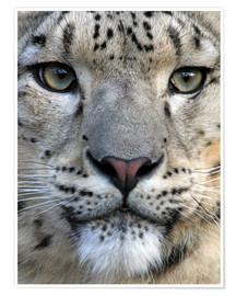 Poster Premium  snow leopard - Wolfgang Dufner