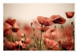 Poster Premium Red Poppy Flowers 05