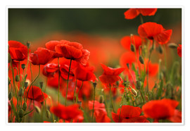 Poster Premium Red Poppy Flowers 14
