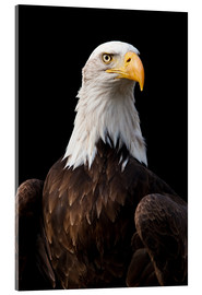 Vetro acrilico  Bald Eagle - Jan Schuler