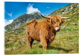 Stampa su vetro acrilico  Scottish Highland Cattle - Olaf Protze
