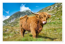 Poster Premium  Scottish Highland Cattle - Olaf Protze