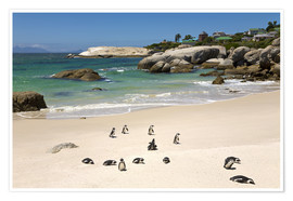 Poster  Penguins at Boulders Beach - Paul Thompson