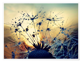 Poster Premium Dandelion in the sunset
