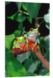 David Northcott - Redeyedtreefrogcouple sitting on a branch