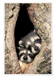 Poster  Baby raccoons in tree cavity - Adam Jones