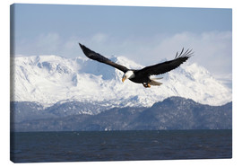 Tela  Bald Eagle in Flight - David Northcott