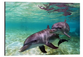 Alluminio Dibond  Two bottlenose dolphins from the beaches of the Caribbean - Stuart Westmorland