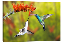 Don Grall - Broad-billed Hummingbirds at a Flower