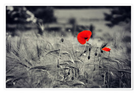 Poster Premium Red poppies in a cornfield
