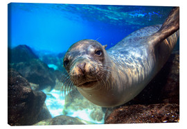 Stampa su tela  Sea lion underwater portrait - Paul Kennedy