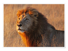 Poster  Lion in the evening light - Africa wildlife - wiw