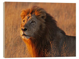 Stampa su legno  Lion in the evening light - Africa wildlife - wiw