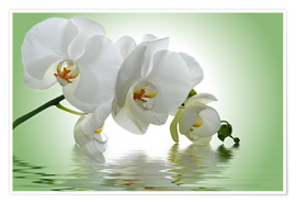 Poster Premium  Orchid with Reflection - Atteloi