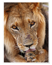 Poster  View of the lion - Africa wildlife - wiw