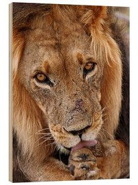 Stampa su legno  View of the lion - Africa wildlife - wiw