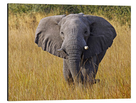Stampa su alluminio  Elephant in the gras - Africa wildlife - wiw