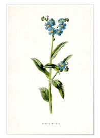 Poster Premium Forget-Me-Not