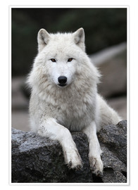Poster  the wolf - WildlifePhotography