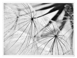 Poster Premium Dandelion black and white