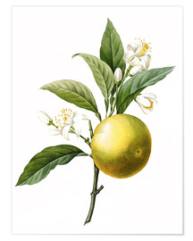 Poster Premium  Orange Tree - Pierre Joseph Redouté