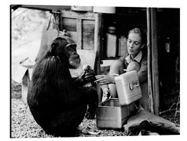 Alluminio Dibond  Jane Goodall with chimp David Greybeard