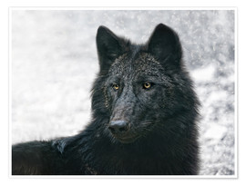 Poster  the black wolf - Joachim G. Pinkawa