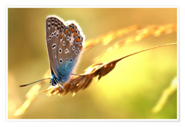 Poster Premium  Butterfly in late summer - Julia Delgado