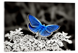Stampa su vetro acrilico  Blue butterfly on black colorkey II - Julia Delgado