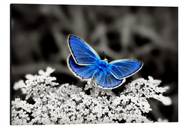 Stampa su alluminio  Blue butterfly on black colorkey II - Julia Delgado