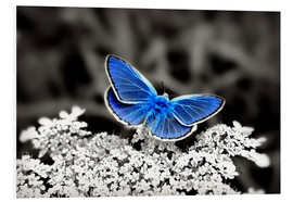 Stampa su schiuma dura  Blue butterfly on black colorkey II - Julia Delgado
