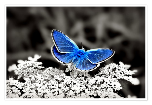 Poster Premium Blue butterfly on black colorkey II