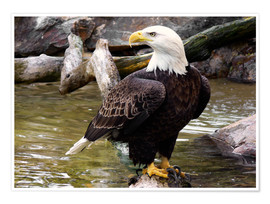 HADYPHOTO by Hady Khandani - Bald Eagle