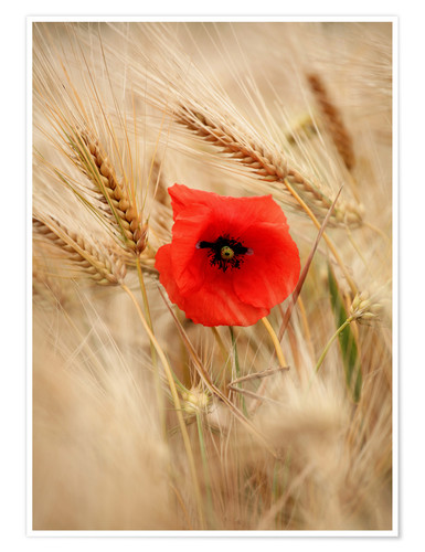 Poster Premium Red poppy in wheat field 2