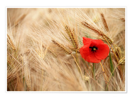 Poster Premium Red poppy in wheat field
