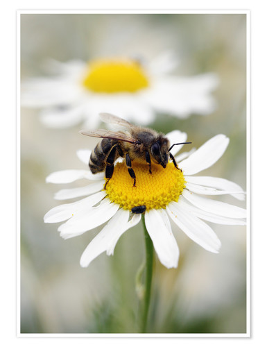 Poster Premium Bee on the camomile lawn