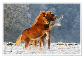 Poster Premium Icelandic horses foal playing in snow